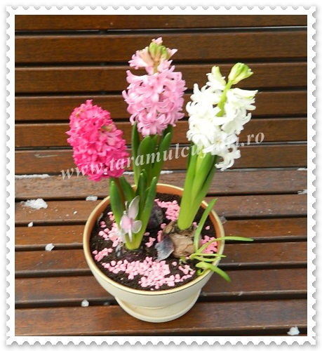 Aranjamente florale din bulbi de zambile.5653
